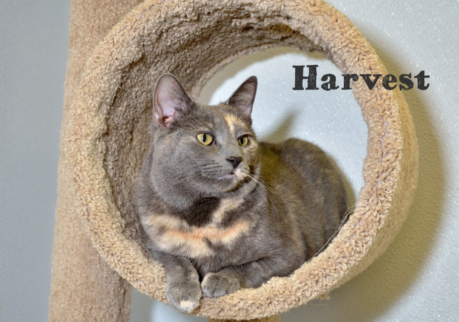 "Another picture from my ""Shots from the Shelter"" series. Harvest has such beautiful coat and made for a great subject. Obviously she enjoyed posing for the camera. I wish all cats would be this cooperative while having their pictures taken."