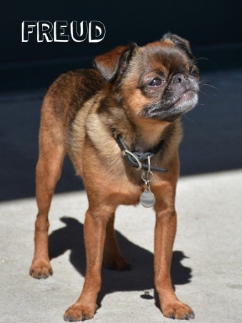 """Freud is quite a character. Cindy and Roz, his owners, sum him up as a """"street angel, house devil"""" Sweet as pie when they are out and about, but once he gets back into his territory, all hell breaks loose. Never-the-less this cute Brussels Griffon is always the center of attention wherever he is. Admittedly, my posts have been a bit cat dominated, so I thought I would balance it out with a great shot I got last summer in front of Max Crema's Espresso and Coffee Bar."""